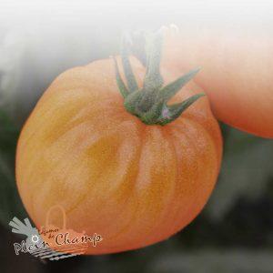 Tomate variété Coeur de Boeuf