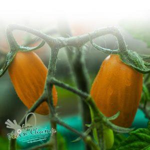 Tomate variété Cornue