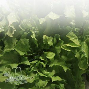 Salade scarole